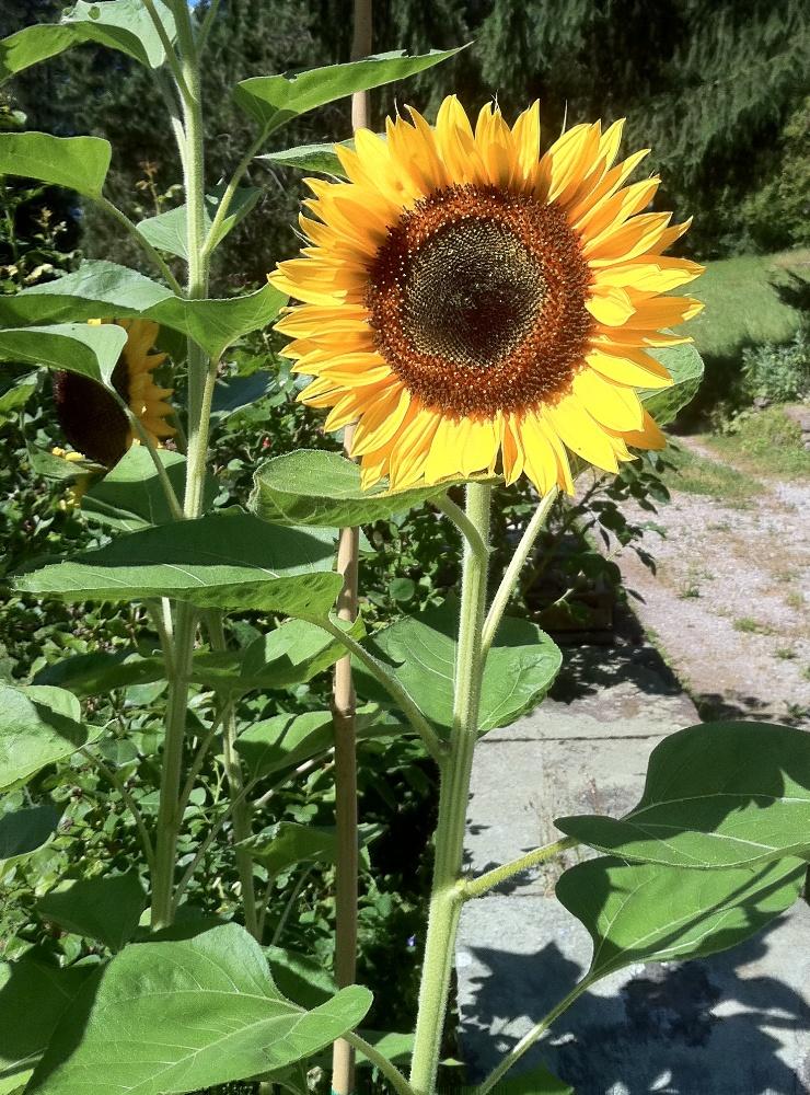 sunflower-seeds-sonnenblumen-samen