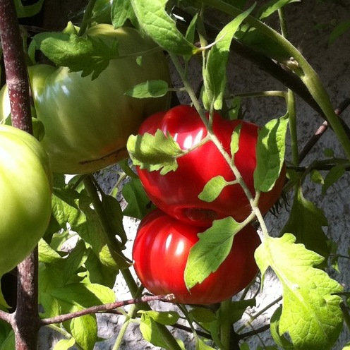 Tomaten-Belmonte-3