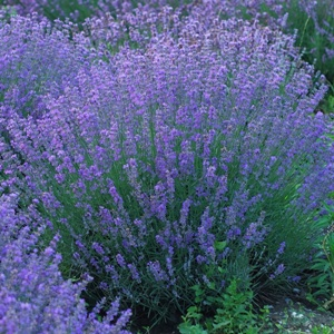 Lavendel-seeds-for-the-world