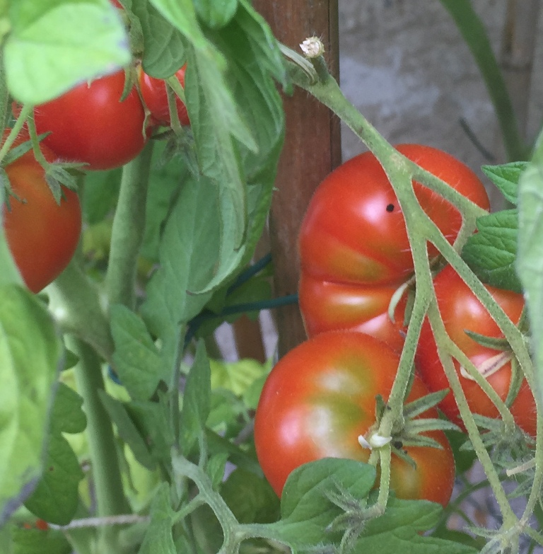 tomate-brandywine-seeds-for-the-world