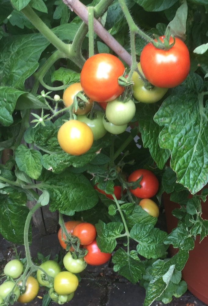 tomate-bogus-fruchta-ks-seeds-for-the-world