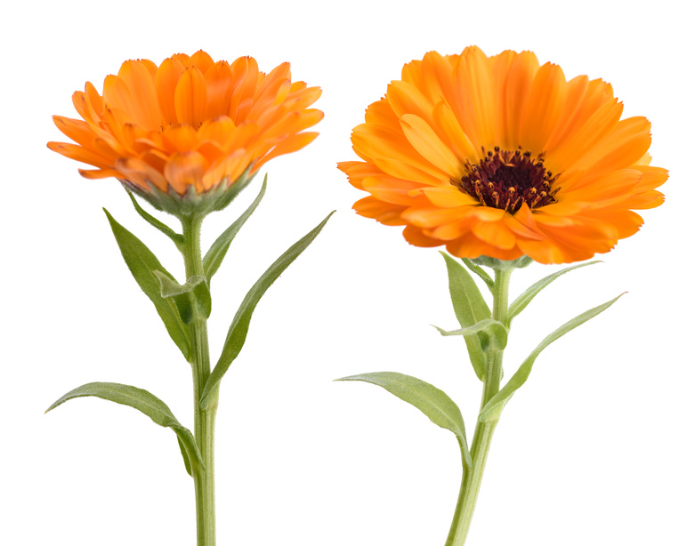 Ringelblumen-orange