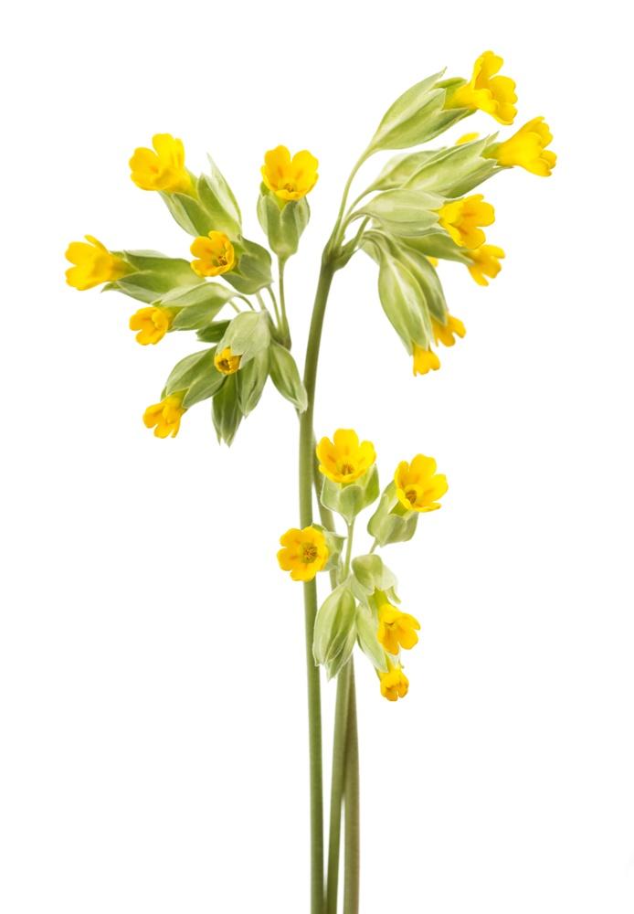 schluesselblume-heilpflanze