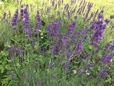 lavendel-biosaatgut-samen-fuer-die-welt